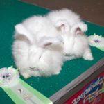 """Белые крольчата породы """"немецкая аногра"""""""