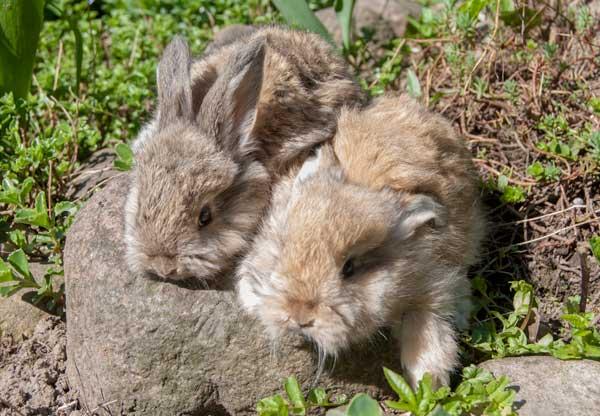 Стандартный окрас агути крольчонка