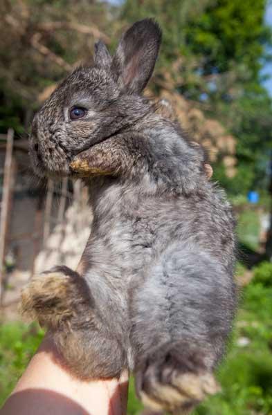 """Необычный окрас крольчонка породы """"Немецкая ангора"""""""