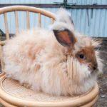 """крольчонок """"немецкой ангоры"""" редкого оленьего окраса"""