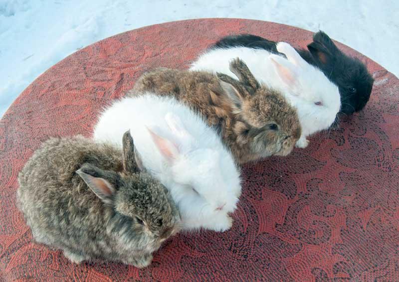 """Крольчата породы """"немецкая ангора"""", 1,5 мес.  Будут на предстоящей выставке."""
