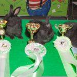 крольчата немецкой ангоры на выставке