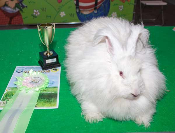 Кролик немецкой ангоры на выставке
