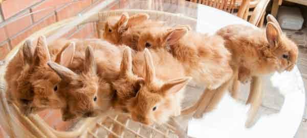 рыжие крольчата немецкой ангоры, возраст 1 мес.