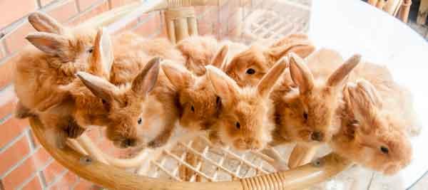 рыжие крольчата