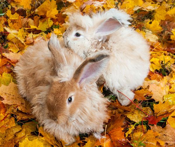 ангорские крольчата