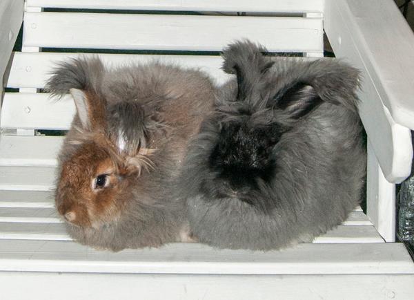 """Агути и черный кролики """"немецкой ангоры"""""""